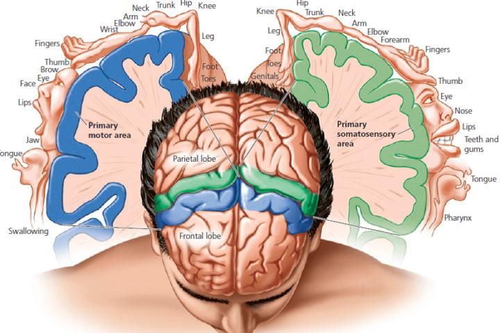 qué porcentaje del cerebro humano utilizamos