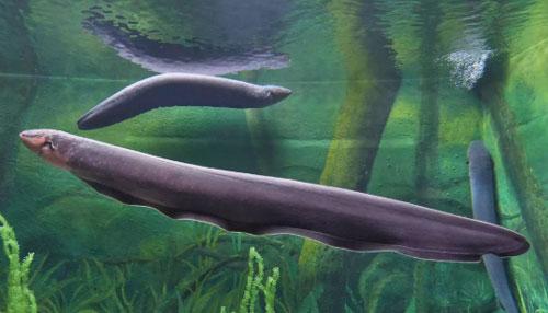 Curiosidades de las anguilas eléctricas
