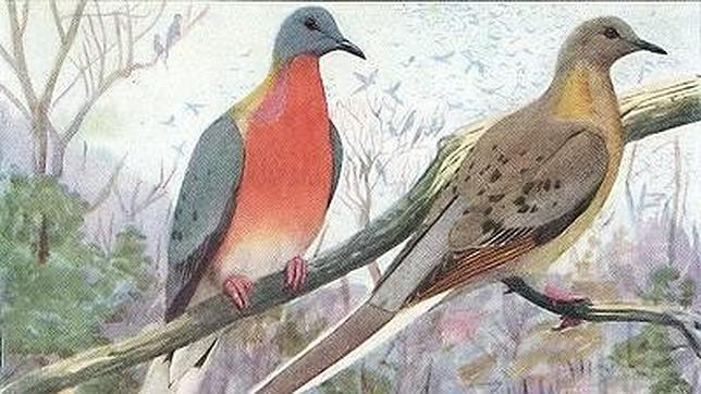 Paloma mensajera - Ectopistes migratorius