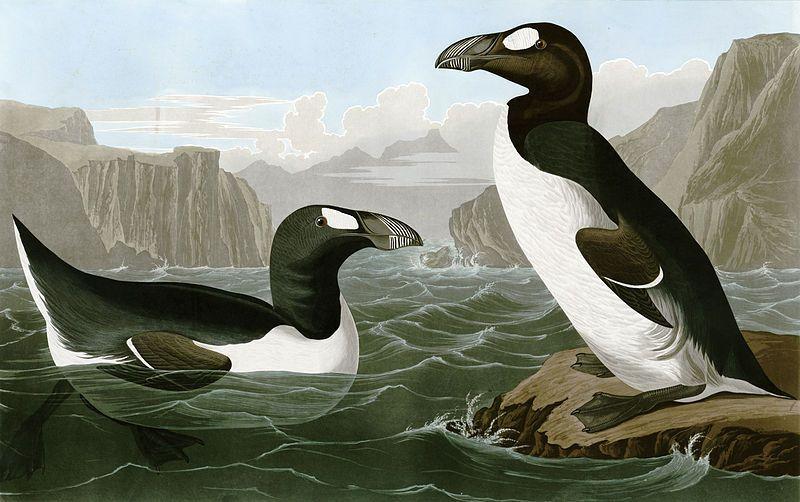 Gran Auk - Pinguinus impennis