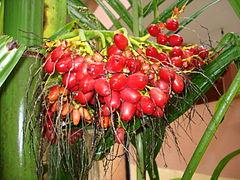 Nuez de betel ( Areca catechu )
