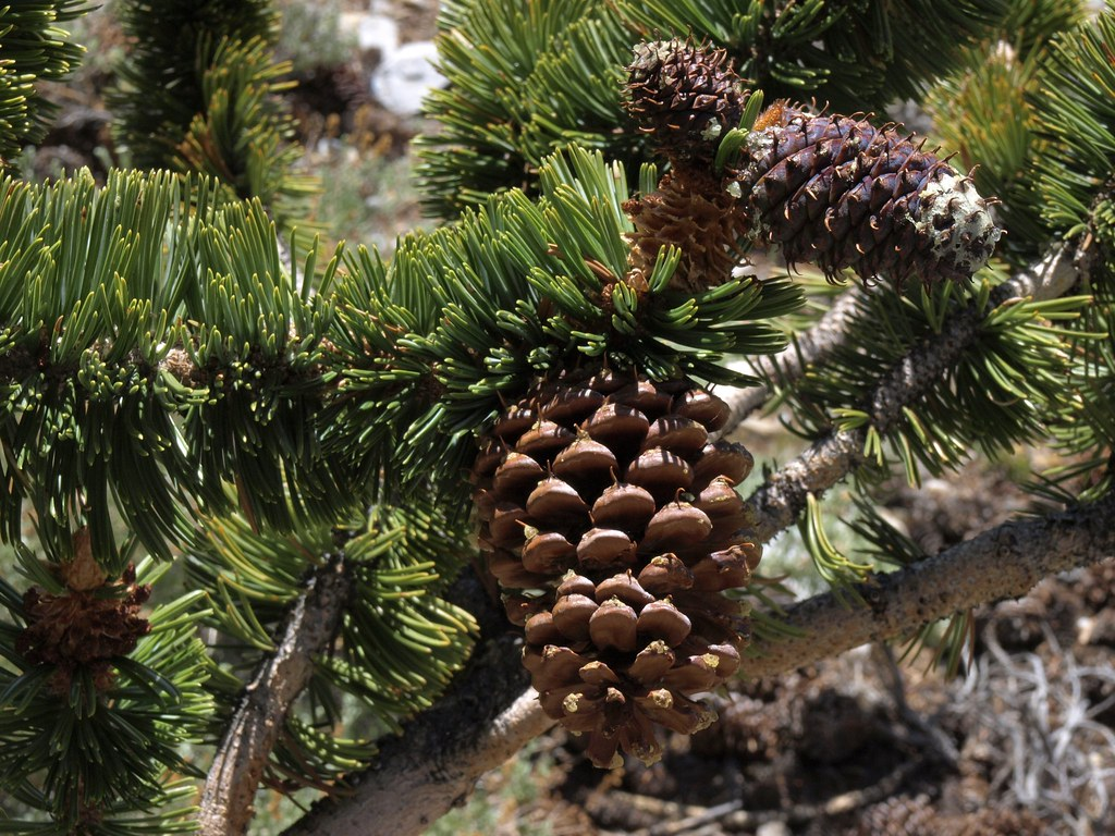 The Old: Bristlecone Pine ( Pinus longaeva )